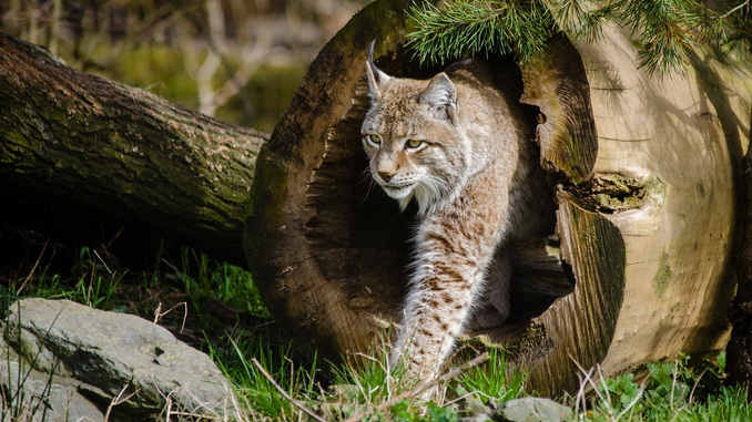 avoir des yeux de lynx